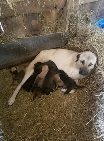 Anatolian Shepherd Dog Mix litter