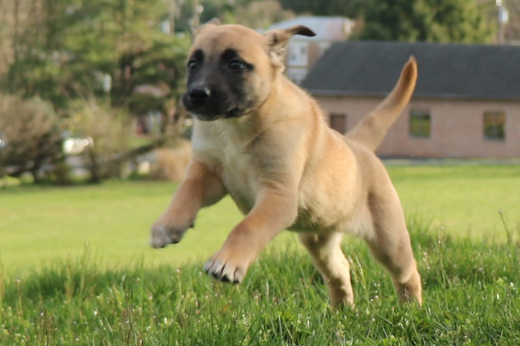 Anatolian Shepherd Dog Mix