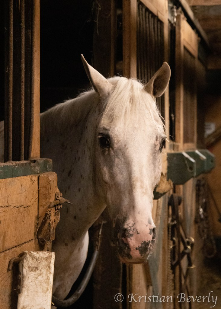 Appaloosa horse looking out of horse stall